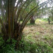 Ladang Sawit 10 Ha Di Aekloba Kisaran Murah (19005527) di Kab. Asahan
