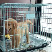 Anakan Anjing Golden Retriever Turunan Champion (19111795) di Kota Tangerang