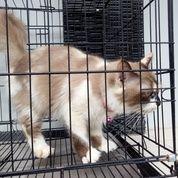 Kucing Persia Himalaya (19306315) di Kota Cirebon