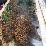 Bibit Ternak Koloni Lebah Madu Trigona Klanceng Kelulut