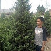 Pohon Cemara Pua Pua.Cemara Udang.Cemara Tretes.Cemara Pinus.Cemara Lilin 081292127731 (19459375) di Kota Tangerang