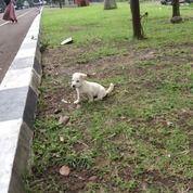 Anak Anjing Golden Murah (19479859) di Kota Bandung