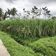 Sawah 3 Hektar Jabung Malang Jawa Timur (19637003) di Kab. Malang