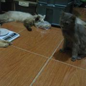 Sepasang Kucing Himalaya Dan Seekor Betina Persia. (19688579) di Kota Bekasi