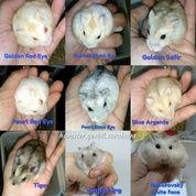 Hamster Winter White Dan Roborovski (19904579) di Kota Surabaya