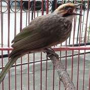 Cucak Rowo Gede Suara Kencang (19964907) di Kota Banjarbaru
