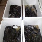 Induk Ikan Lele Sangkuriang, Phyton, Masamo, Mutiara