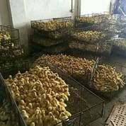 Tempat Agen Bibit Bebek Peking Di Subang Dan Indramayu 081312175696 (20138551) di Kab. Bandung Barat