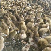 Agen Dod Bibit Bebek Lokal Petelur Dan Pejantan Di Karawang Dan Cariu