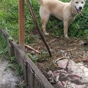 Anjing Golden Mix Betina Umur 6 Bulan . Lokasi Banjarmasin (20435875) di Kota Banjarmasin