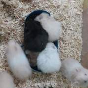 Hamster Anakan Syrian Medium Lucu Gak Gigit (20481003) di Kota Medan