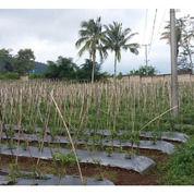 Tanah Kebun Di Palasari Ciater Sudah Tembok Keliling (20617127) di Kab. Subang