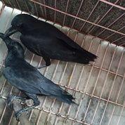 Burung Gagak Hutan Liaran Engkak (20631859) di Kota Jakarta Selatan