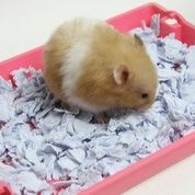 Hamster Syrian Medium Silangan Long Dan Shorthair