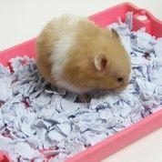 Hamster Syrian Medium Silangan Long Dan Shorthair