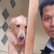 Anjing Golden Retriever 8bln Stanbum (20789475) di Kota Tangerang