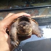 Kura Kura Snapping Turtle