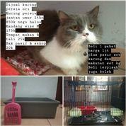 Kucing Persia Ori Umur 1thn Jantan Lagi Birahi (20798587) di Kota Yogyakarta