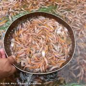 Benih Ikan Nila Merah Super (20860191) di Kab. Sukabumi