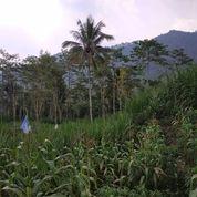 Tanah 1hektare View Istimewa Kemiri Jabung Malang (20877167) di Kab. Malang