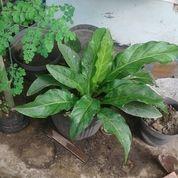 Anthurium Hookeri (20984195) di Kota Bekasi