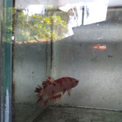 Ikan Cupang Hias Kualitas Kontes (21186387) di Belawan