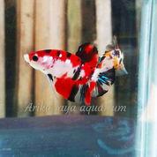 Ikan Cupang Koi Cupang Hias Murah Ecer Grosir Cirebon (21216723) di Kota Cirebon