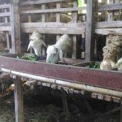 Kambing Dan Domba Kota Padang (21259475) di Kota Padang