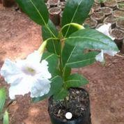 Bibit Pohon Tabebuya Bunga Pink,Kuning