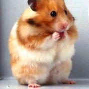 Hamster Syrian Dgn Harga 25.000 (21350167) di Kota Jakarta Pusat