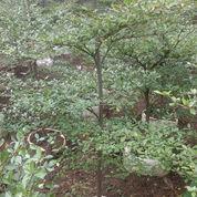 Pohon Ketapang Kencana Besar,Bibit Pohon