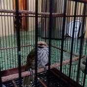 Cucak Rowo Rovel Jantan (21443983) di Kab. Kediri