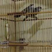 Sepasang Cucak Rowo Rovel Indukan