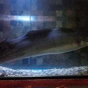 Ikan Aba Aba (Knife Fish)