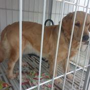 Anjing Golden Retriever (21607091) di Kota Tangerang