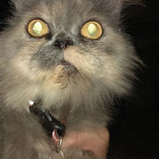 Kucing Persia Perawan Bonus Kandang (21609687) di Kota Denpasar