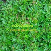 tukang rumput gajah mini | rumput jepang | rumput golf