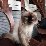 Kucing Himalaya Umur 1 Th (21632967) di Kota Bekasi