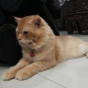 Kucing Anggora Garfield (21633343) di Kota Bekasi