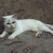 Kucing Blasteran (21637015) di Kota Bekasi