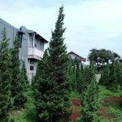 Pohon Cemara Pua Pua.Cemara Afrika.Cemara Tretes.Cemara Lilin (21841639) di Kota Tangerang Selatan