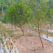 Tanah 5000M Wonorejo Poncokusumo Malang (22042139) di Kab. Malang