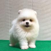 Anjing Mini Pom