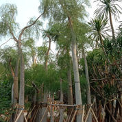 Pohon Kelor Afrika