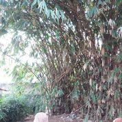 Jasa Tebang Bambu (22189619) di Kota Jakarta Timur