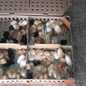 DOC Atau Bibit Ayam Kampung Super Pengiriman Ke Sumatera