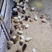 DOC Atau Bibit Ayam Kampung Super (Joper) Pengiriman Ke Kalimantan (22213687) di Kab. Sleman