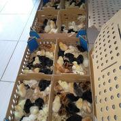 DOC Ayam Kampung Super Pengiriman Ke Sulawesi