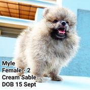 READY 3 Ekor Mini Pomeranian, Good Quality. +/- Umur 3 Bln
