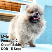 READY 3 Ekor Mini Pomeranian, Good Quality. +/- Umur 3 Bln